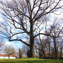 Baum Schlosspark Oberschwappach