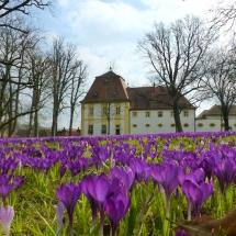 Krokusblüten Schlosspark Oberschwappach